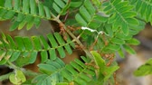 weaver ants are carrying the white material on tropical tree leafs Стоковые видеозаписи