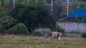 cow and crane bird in the arid paddy field in the evening