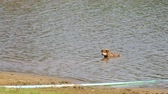 a puppy is running up from the water in reservoir Стоковые видеозаписи