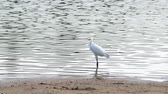 white crane is walking and searching for food in the reservoir Стоковые видеозаписи
