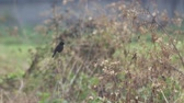 male pied bushchat bird is resting and flying in the field