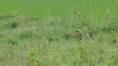 stone chat bird is resting in the field with other bird flying pass