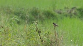 stone chat bird is shaking its wings and tail on the plant shoot in the green field