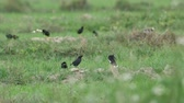 many Crested Myna birds are resting in the paddy field Стоковые видеозаписи