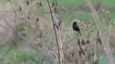 male pied bush chat bird is resting on the dry branch in the arid field