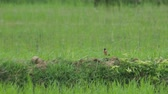 a stone chat bird is searching and eating on the floor in the paddy field
