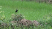 male and female pied bush chat bird staying in the rice field in the same flame Стоковые видеозаписи
