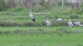Asian openbills birds are standing in the green paddy field