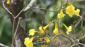 golden trumpet flowers on the tree are at the senescence stage and some of them were dropped