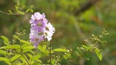 lagerstroemia : crape myrtle flowers and leafs are shaking with wind Stock Footage