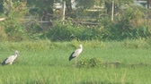 Asian openbills birds are resting and flying away in the green paddy field