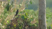 female Pied bushchat bird is relaxing on the plant shoot in the morning