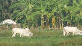 Calves are walking and eating grass in the agricultural field