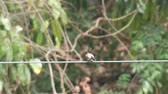 Red-whiskered bulbul is resting and shaking its tail on the electric line