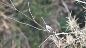 Red-whiskered bulbul is touching its beak with the bamboo shoot