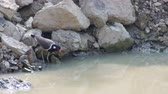 red-wattled lapwing bird is drinking water in the pond