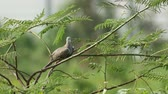 Spotted dove is resting on the mimosa tree
