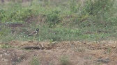 red-wattled lapwing bird is standing on the ground in the arid grass field