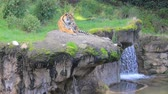 tygrys : Tiger laying next to waterfall Wideo