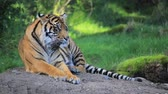 tygrys : Tiger on a rock looks around Wideo