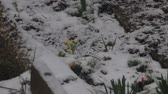 first flowers : snow fall on flowers