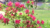 jardinagem : red flowering azalea blowing in the breeze panning down Vídeos