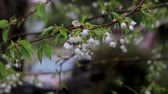group of cherry blossoms drip after storm Wideo