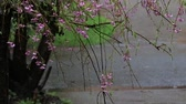 bunch of pink cherry blossoms from weeping cherry tree in rain shower