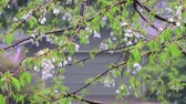 cherry branches drenched in rain from spring storm