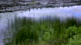 waterlily : pan along grassy pond bank Stock Footage