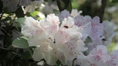 нектар : zooming in on bee in white rhododendron bloom