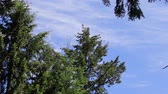 ladrão : branch of pine against the blue sky in the wind in spring Stock Footage
