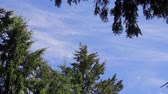 pinha : panning down branch of pine against the blue sky