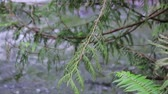 oregon : cedar branches and running river