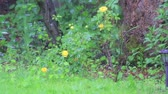 rose garden : hail storm hits yellow roses