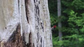 pintos : woodpecker standing on the side of a tree Vídeos