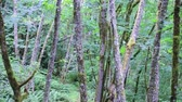 northwest : slim trunks of maples in forest in pacific northwest
