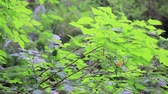 salmon pink : salmon berry plant with fruit blows in wind Stock Footage