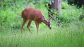 paroh : deer eating grass in forest