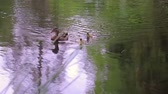 aquatic bird : mother duck and two ducklings swim forward Stock Footage
