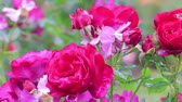 rose garden : bright pink rose bush