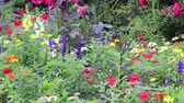 azevinho : colorful blooms and buds in pacific northwest garden Stock Footage
