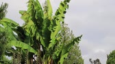 banány : banana tree blowing in wind