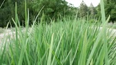 trawnik : Stream passing through the vegetation through green grass stems Wideo