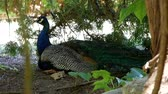chicken wings : Man peacock in the shade under a tree.
