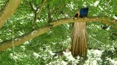 plumagem : Man peacock in a park on a tree. Vídeos