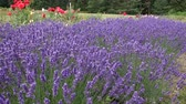 аромат : Lavender is an aromatic and healing plant.
