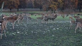 jikry : Spotted deers in nature
