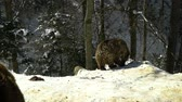 дикарь : Brown bears in the winter forest. Two bears eat in the snow. Стоковые видеозаписи
