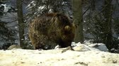 дикарь : Brown bears in the winter forest. One little bear cub eats in the snow. Стоковые видеозаписи